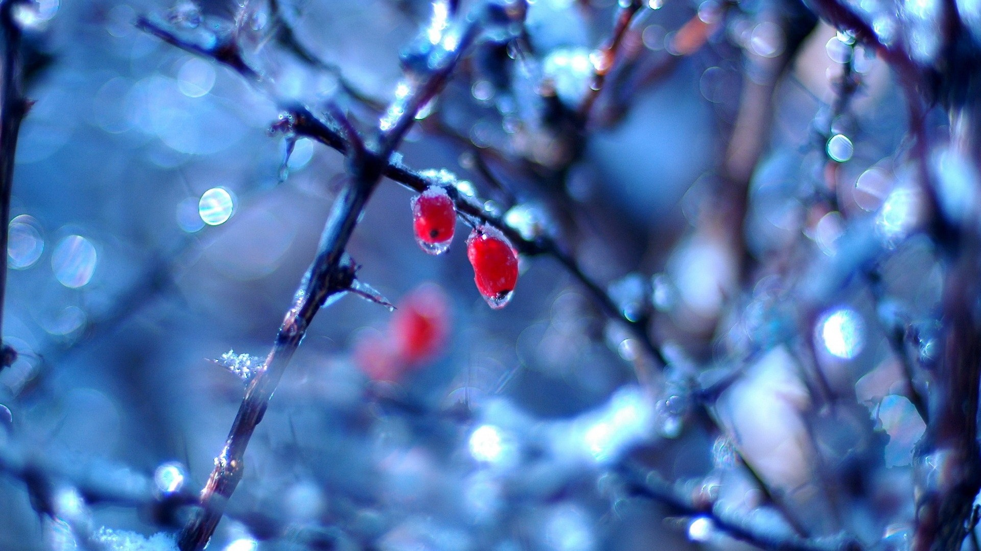 Red-Fruit-in-Ice-Cool-Root-Tree-Winter-Nature-Wallpaper